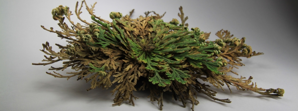 selaginella_open